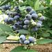 珠宝蓝莓苗天津重点产区卖多少钱、
