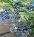 北极星蓝莓苗改良土壤北极星蓝莓苗批发便宜