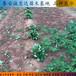 产量高不高奶油草莓苗、奶油草莓苗今日报价