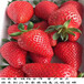 组培的隋珠草莓苗定苗热线