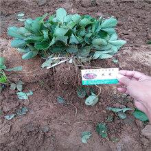 妙香3号草莓苗哪里有、妙香3号草莓苗预订从速图片