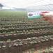 四季草莓苗江西价格