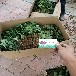 甜寶草莓苗主產區、甜寶草莓苗品種純正基地直銷