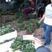 圣誕紅草莓苗便宜基地,冷藏發貨圣誕紅草莓苗