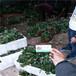 香野草莓苗推广基地、香野草莓苗适应土壤种植