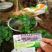 脫毒黔莓二號草莓苗哪里便宜