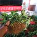 甜宝草莓苗专业苗圃、甜宝草莓苗预订从速
