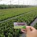三年生綠寶石藍莓苗(哪里賣的便宜)