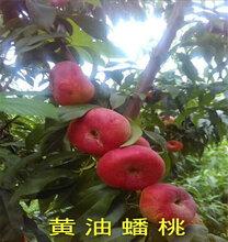 1公分金蘋美油蟠桃樹苗便宜培育基地、金蘋美油蟠桃樹苗貨源地圖片
