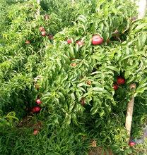 今年新品種中油27油桃苗哪里便宜、現場起苗圖片