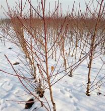 世纪之星油桃树苗、世纪之星油桃树苗价格单、河南世纪之星油桃树苗图片