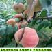 春露桃树苗报价表、春露桃树苗哪里有卖的