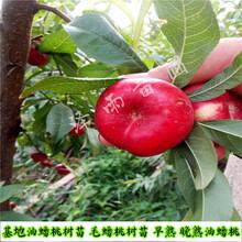 早熟珍珠枣油桃树苗、早熟珍珠枣油桃树苗厂家报价、陕西早熟珍珠枣油桃树苗图片