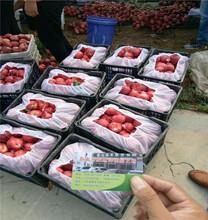 中蟠101桃树苗、中蟠101桃树苗多少钱一棵、广东中蟠101桃树苗图片