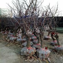 金丝枣树苗、双5金丝枣树苗哪里有图片