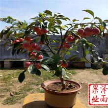 新红星苹果苗、新红星苹果树苗咨询来电、1年世界一号苹果苗图片