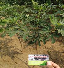 紫陶芬无花果苗、低价紫陶芬无花果苗、紫陶芬无花果苗种植技术图片