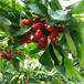 金顶红樱桃树苗育苗基地、大青叶砧木金顶红樱桃树苗
