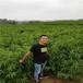 純正便宜的7-7油蟠桃樹苗、批發基地