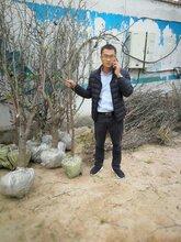 蟠枣树苗成熟时间、浙江图片