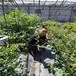 珠宝蓝莓苗、智利公爵蓝莓苗基地有品种纯