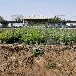新千年蓝莓苗基地有便宜专业也批发追雪蓝莓苗
