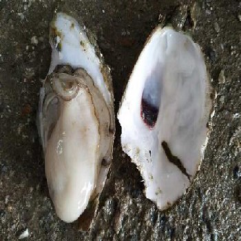 新鲜烧烤食材海鲜货源批发鲜活生蚝牡蛎海蛎子供应湛江官渡发货自产自销