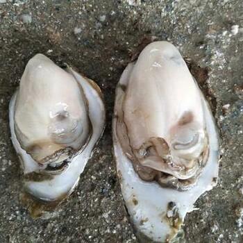 湛江鲜活生蚝牡蛎烧烤食材批发带壳新鲜打捞自产自销