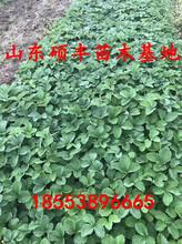 专业红颊草莓苗、红颊草莓苗品种价格图片
