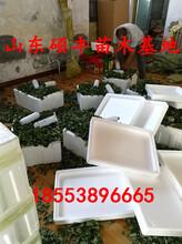大棚幸香草莓苗厂家、大棚幸香草莓苗大量批发价格图片