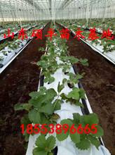 大棚全明星草莓苗基地、全明星草莓苗种植介绍图片