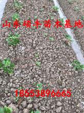 脱毒奶油草莓苗价格、奶油草莓苗价格是多少图片