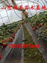 盆栽甜宝草莓苗厂家、盆栽甜宝草莓苗详细价格图片