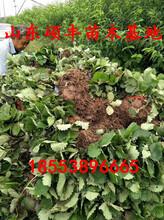 脱毒冬香草莓苗出售、脱毒冬香草莓苗多少钱一棵图片