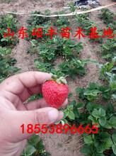 露天中莓5号草莓苗批发、中莓5号草莓苗价格图片