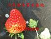 隋香草莓苗、优质隋香草莓苗繁殖方式