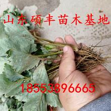 专业全明星草莓苗报价、专业全明星草莓苗销售商图片