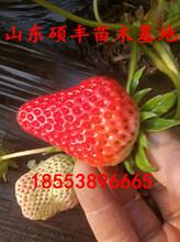 脱毒安娜草莓苗出售、脱毒安娜草莓苗种植技术图片