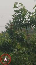 3公分矮化樱桃苗、含香樱桃苗发货基地图片