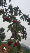 2年生早大果樱桃苗、早大果樱桃苗详细价格图片