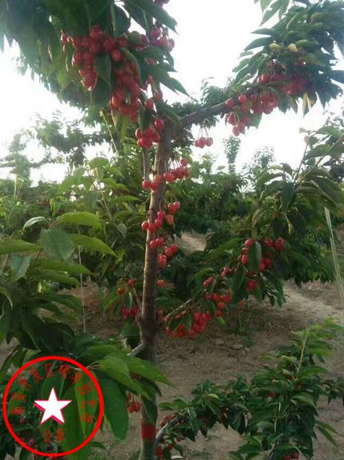 矮化樱桃苗、矮化大紫樱桃苗资料