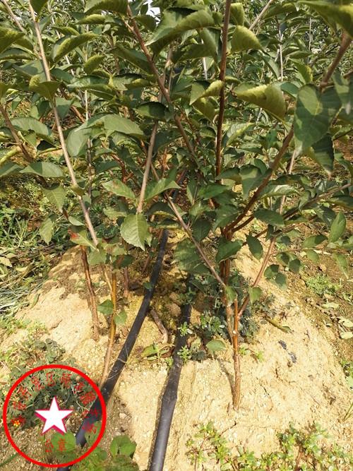 吉塞拉12号樱桃苗、吉塞拉12号樱桃苗多少钱一颗