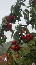 3公分吉塞拉樱桃苗、吉塞拉樱桃苗特点图片