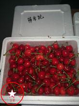 3年生俄八樱桃苗多少钱图片