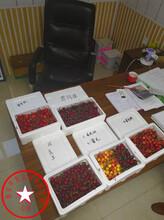3公分拉宾斯樱桃苗怎么种植图片
