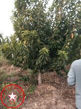 4公分樱桃苗、红灯樱桃苗、樱桃苗种植介绍图片