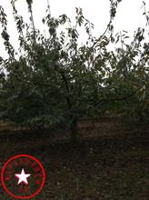 哪里有樱桃苗、钻石之光樱桃树苗、樱桃苗树型管理图片