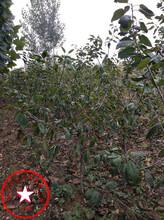 5公分樱桃苗、岱红樱桃苗、樱桃苗市场价格图片