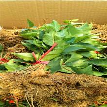 拉宾斯樱桃苗适合湖南的品种图片
