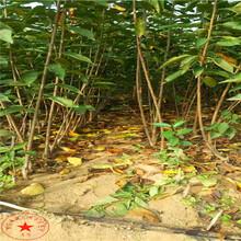 矮化吉塞拉5号樱桃苗、福星樱桃树苗、樱桃苗发货基地图片